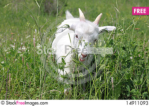 Free The Goat On A Green Meadow Stock Photos - 14911093