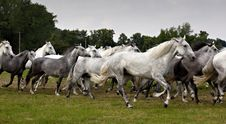 Free Herd Of Horses Royalty Free Stock Images - 14910639