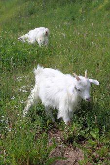 The Goat On A Green Meadow Royalty Free Stock Photos