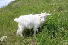The Goat On A Green Meadow Royalty Free Stock Photography