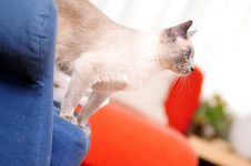 Free Siamese Cat Standing On An Armchair Stock Photography - 14911072