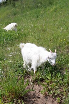 The Goat On A Green Meadow Royalty Free Stock Images
