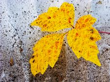 Free Speckled Yellow Fall Leaf Stock Images - 14911514