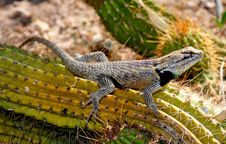Free Desert Spiny Lizard Royalty Free Stock Image - 14911886