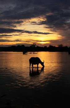 Free Sunrise Water Buffalo Silhouette Royalty Free Stock Image - 14912516