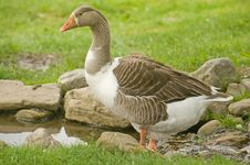 Free Goose Paddling In A Stream Closeup. Royalty Free Stock Photography - 14912627