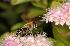 Free Honey Bee Collecting The Pollen Royalty Free Stock Images - 14912889