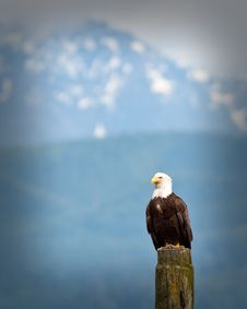 Free Bald Eagle Stock Images - 14912894