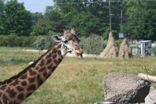 Free Giraffe Eating Royalty Free Stock Photography - 14913027