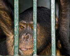 Sad Chimp Royalty Free Stock Photography
