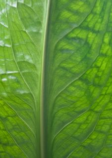 Free Skunk Cabbage Stock Photo - 14914420