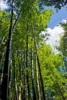Free Bamboo Forest Stock Photos - 14914833