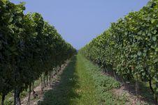 Free Wineyard Stock Photos - 14915783