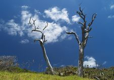 Free Two Dead Trees Stock Images - 14916004