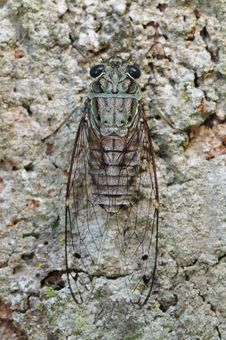 Free Small Cicada Stock Photos - 14916073