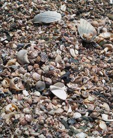 Free Shells Royalty Free Stock Image - 14916306