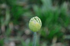 Free Green Flower Bud Stock Image - 14916521