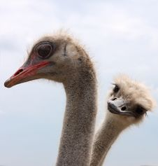 Ostrich Couple Stock Photos