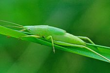 Free Green Katydid Royalty Free Stock Images - 14916589