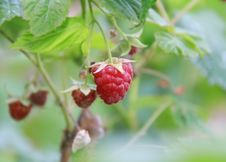 Free Raspberry-bush Royalty Free Stock Photos - 14916828