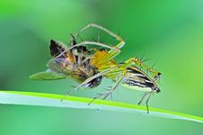 Free Lynx Spider Eating A Bee Royalty Free Stock Images - 14916879