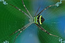 Free St. Andrew Cross Spider Royalty Free Stock Photos - 14917438