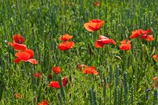 Free Poppy On Field Stock Image - 14917491