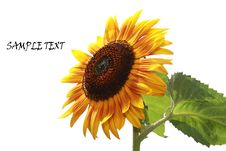 Free Sunflower Stock Images - 14917584