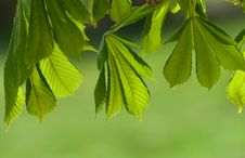 Free Chestnut Leaves Stock Image - 14917681