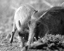 Free Warthog Royalty Free Stock Photography - 14917697