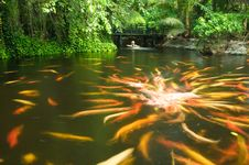 Free Carps In A Pond Royalty Free Stock Photography - 14918167
