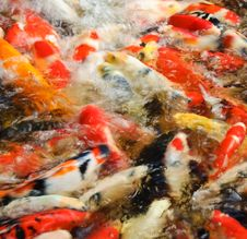 Free Carps In A Pond Stock Image - 14918221