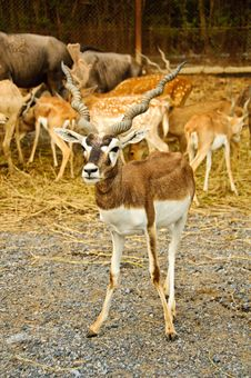 Blackbuck Royalty Free Stock Photo