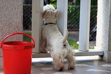 Westie Waiting For His Master Royalty Free Stock Images