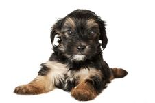 Terrier Puppy Royalty Free Stock Photos