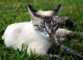 Free Siamese Cat Royalty Free Stock Photos - 14926498