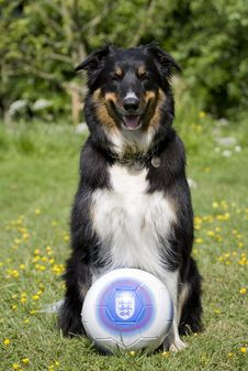 Free Border Collie With Football Stock Photography - 14920152