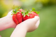 Strawberries In The Hands Royalty Free Stock Image