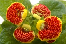 Calceolaria Royalty Free Stock Images