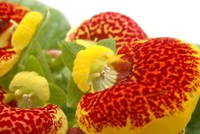 Calceolaria Stock Images
