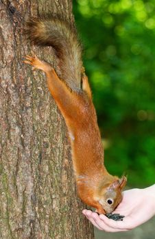 Free Squirrel Eating From Hands Royalty Free Stock Photography - 14920857