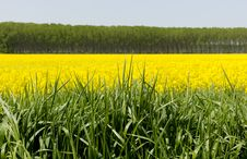 Free Rape Field Royalty Free Stock Images - 14921709