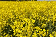 Free Rape Field Royalty Free Stock Photo - 14921755