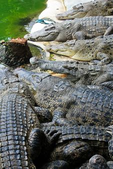 Free Crocodiles Stock Photo - 14922070