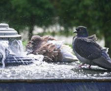 Free Pigeons In City Fountain Royalty Free Stock Photo - 14922245