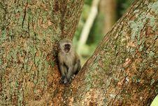 Free Vervet Monkey Baby Stock Photos - 14922533