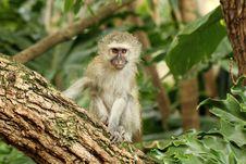 Free Vervet Monkey Baby Royalty Free Stock Photography - 14922697