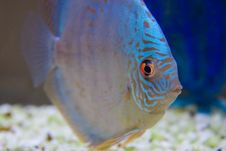 Free Aquarium Fish Royalty Free Stock Image - 14923596