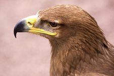 Free White Tailed Eagle Stock Image - 14923641