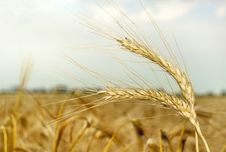 Wheat Heads Royalty Free Stock Images